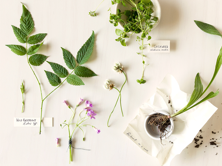 Wild-crafting and Herb crafting Still Life by Karina Sharpe