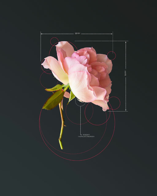 Conceptual Art by Karina Sharpe titled The Rose-Pink Rose
